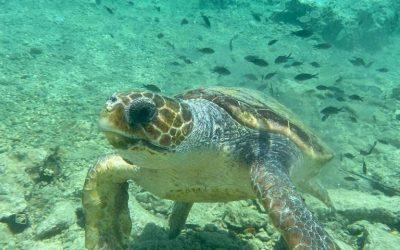 Les premières tortues ont pondu leurs œufs à Elafonisos